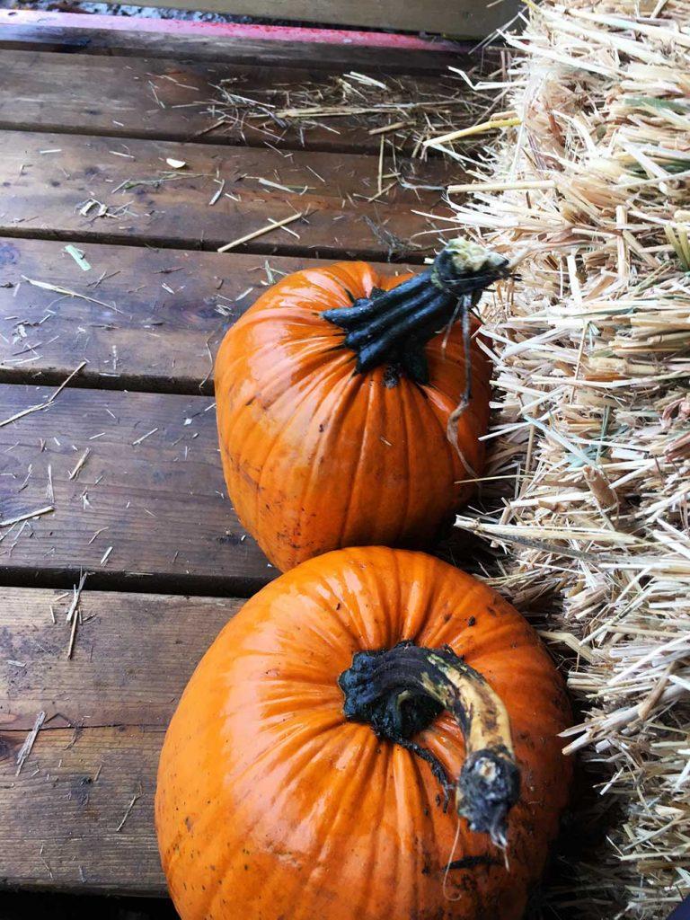 Pumpkins at Aldor Acres with Original Ginger